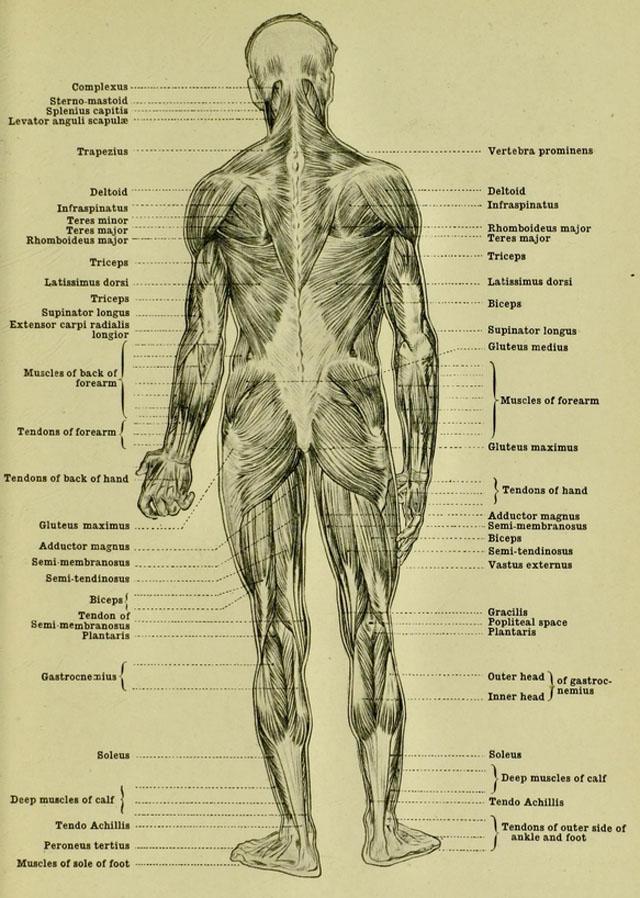 Excelente Anatomía Para Artistas Aplicación Colección de Imágenes ...