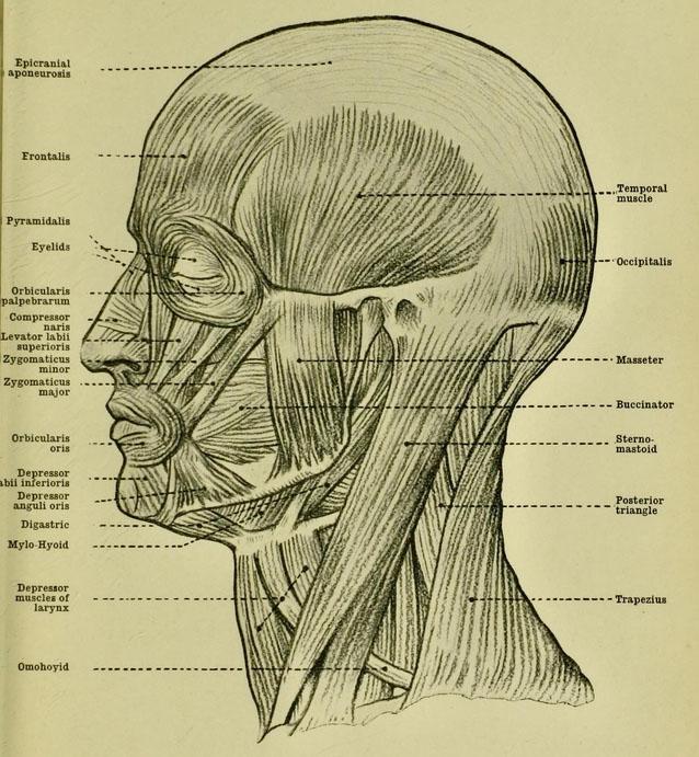 anatomia-humana-para-artistas-musculos-de-la-cara-cabeza-y-cuello
