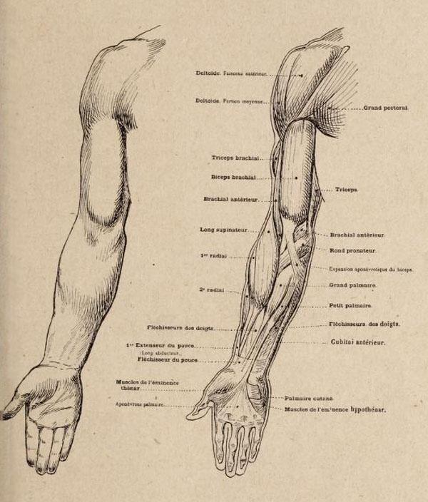 anatomia-artistica-hombre-paul-richer-brazo-frontal-musculatura