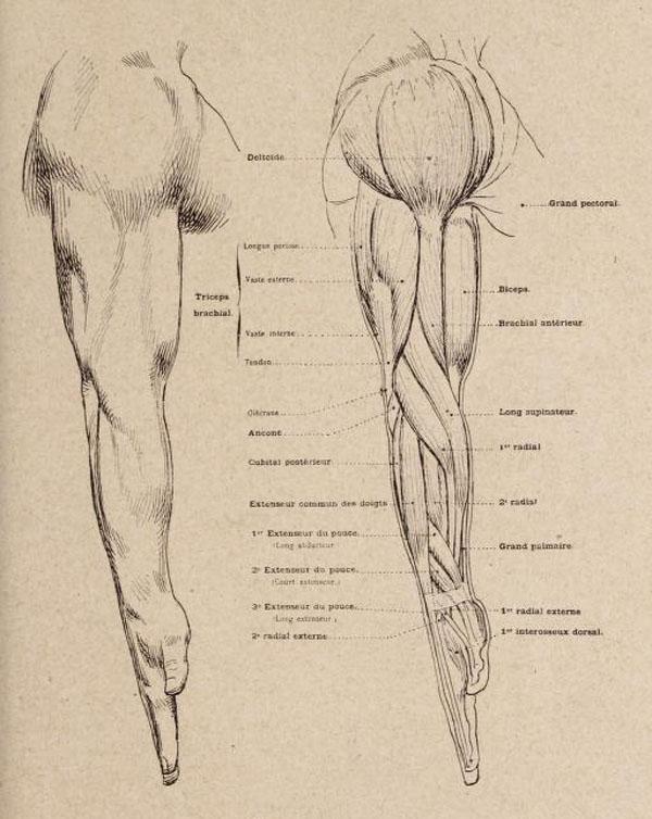 anatomia-artistica-hombre-paul-richer-brazo-lateral-musculatura