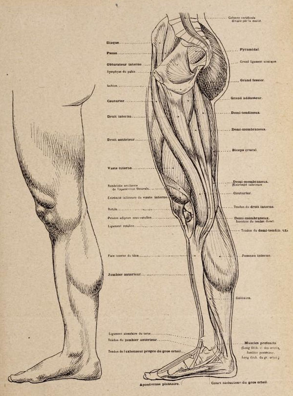 anatomia-artistica-hombre-paul-richer-pierna-lateral-musculatura