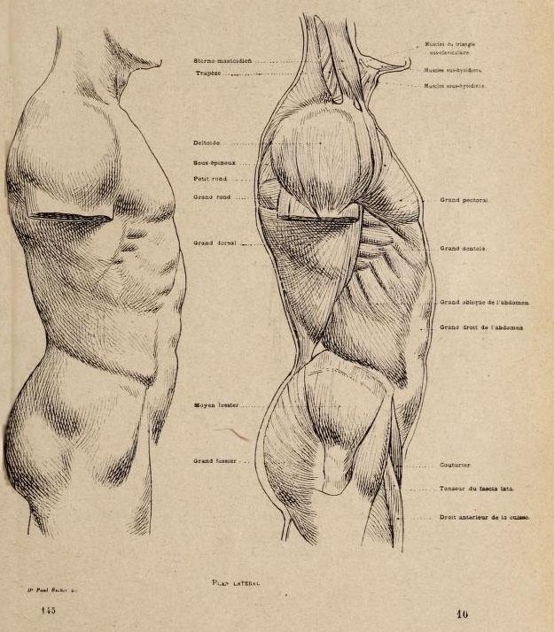 anatomia-artistica-hombre-paul-richer-torso-lateral-musculatura