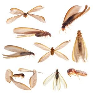Drywood Termite Swarmer Multiple Angles