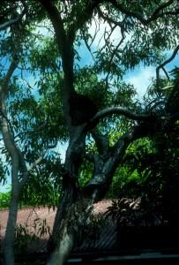 Conehead Termite Tree Nest