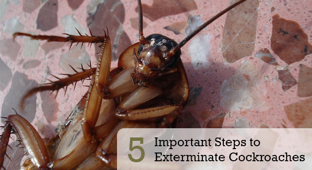 5 Important Steps to Exterminate Cockroaches