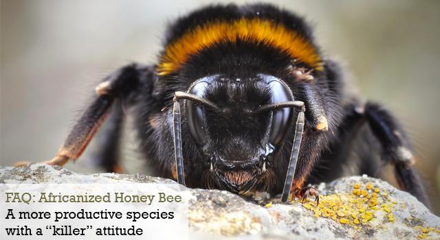 FAQ: Africanized Honey Bee