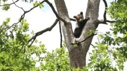 """Pui de urs cocoțat într-un copac, în Sanctuarul de urși """"Libearty"""" de la Zărnești, 3 iulie 2021."""