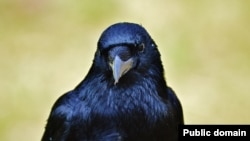 Some people can imitate crow sounds. But crows are also good mimics. These birds can learn to imitate the sounds of other animals, including people.