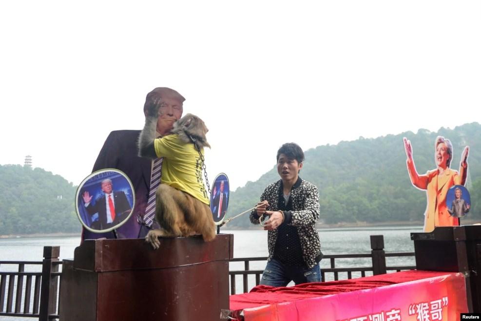 """在中国长沙石燕湖有一场游戏,叫《石燕湖预测帝""""猴哥""""竞猜美国总统竞选》。这只猴子的衣服上写着""""预测帝"""",它选中了川普的纸板像(2016年11月3日)"""