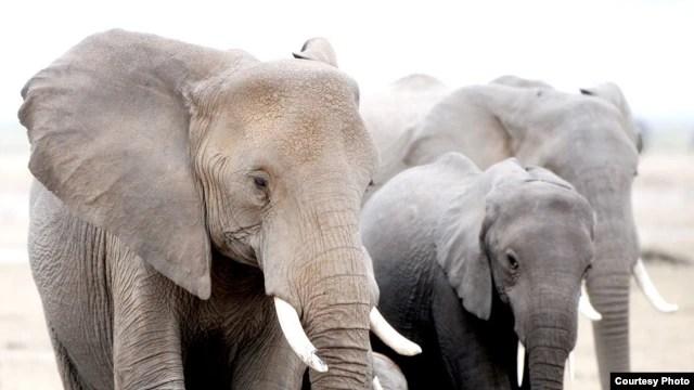 Hàng năm, có khoảng 35.000 con voi bị giết bởi những kẻ săn trộm. (Ảnh: AWF)