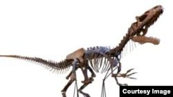 Le squelette d'un dinosaure rare est exposé avant sa vente lors d'une vente aux enchères à la tour Eiffel, à Paris, en France.  (Aguttes)