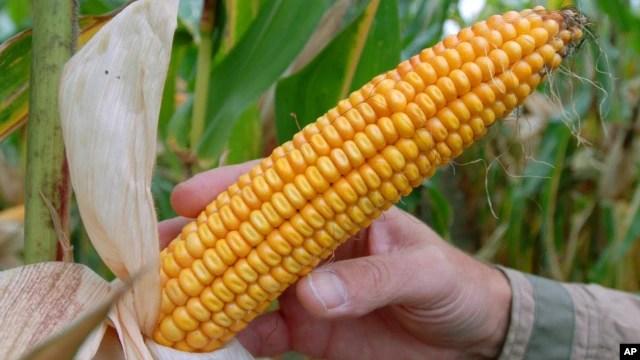 Ông Trần Đình Long, Chủ tịch Hiệp hội Hạt giống Việt Nam nói GMO có thể giúp cho nông nghiệp Việt Nam.