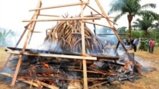 Des ivoires d'éléphants en train d'être brûlés à Libreville, au Gabon (Archives)