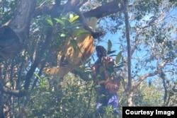 Panen madu hutan pada dahan tikung di sekitar Danau Sentarum (foto: courtesy).