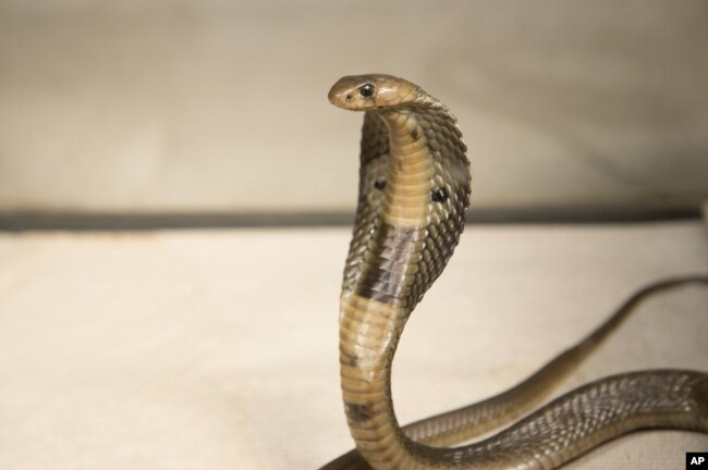 FILE - A Dec. 18, 2015, photo provided by the Wildlife Conservation Society, shows an 18-inch, one-year-old cobra is shown. Cobras and vipers are among the most venomous snakes in Myanmar.