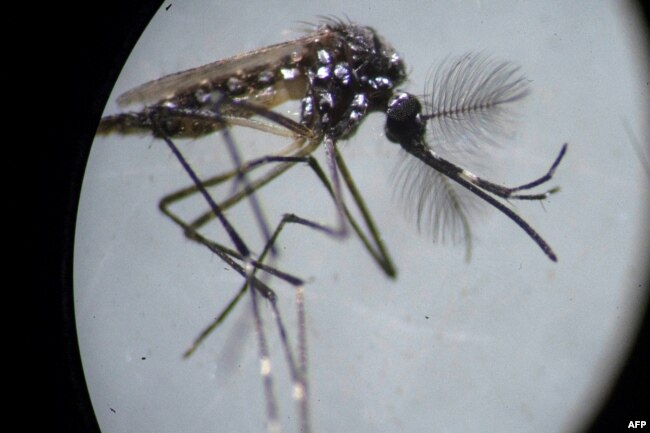 An Aedes aegypti mosquito is seen through a microscope at the Oswaldo Cruz Foundation laboratory in Rio de Janeiro, Brazil.