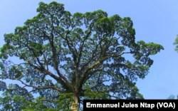 The moabi tree in a Baka village in eastern Cameroon, September 20, 2021 (VOA / Emmanuel Jules Ntap)