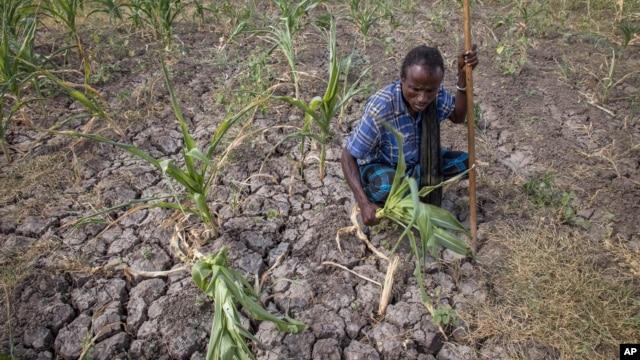 A farmer shows his failed crops and farmland in the Megenta area of Afar, Ethiopia, Jan.26, 2016.