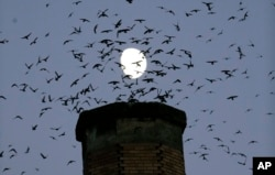 FILE - A multitude of migratory Vaux's Swifts flock to roost for the night inside a large, brick chimney at Chapman Elementary School in Portland, Oregon, Sept. 13, 2016.