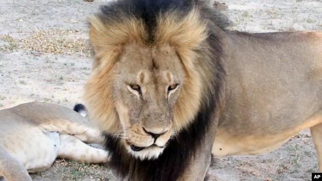 Sư tử nổi tiếng Cecil tại Công viên quốc gia Hwange, Zimbabwe.