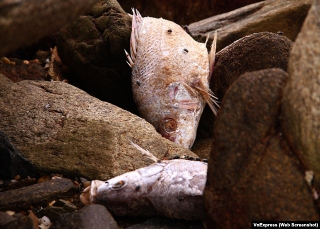 Cá chết hàng loạt giạt vào bờ biển miền Trung Việt Nam liên tục trong những ngày gần đây.