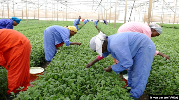 Workers at Maranque Plants are harvesting the cuttings produced for export in the Oromia region, Ethiopia.
