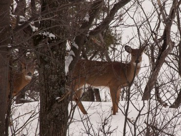 Deer on the escarpment above Cregheur Road