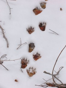 Racoon tracks (Curley Lake)