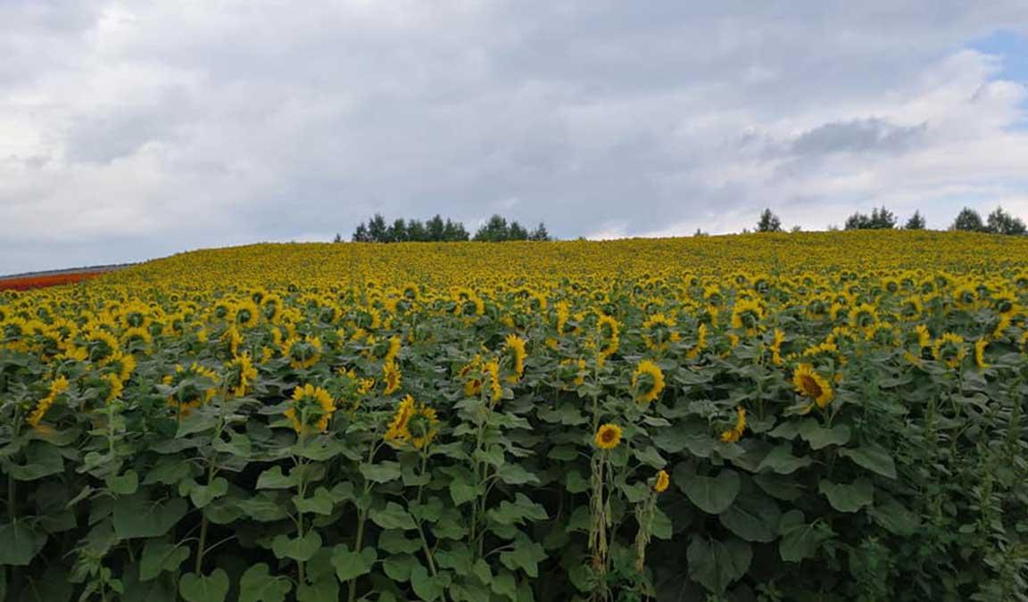 Cara Menanam Bunga Matahari Lengkap Terbukti Meningkatkan Kualitas Panen