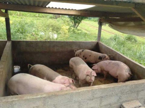 budidaya babi