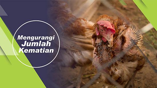 mengurangi jumlah kematian ayam