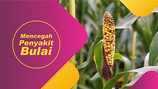 Mencegah Penyakit bulai jagung