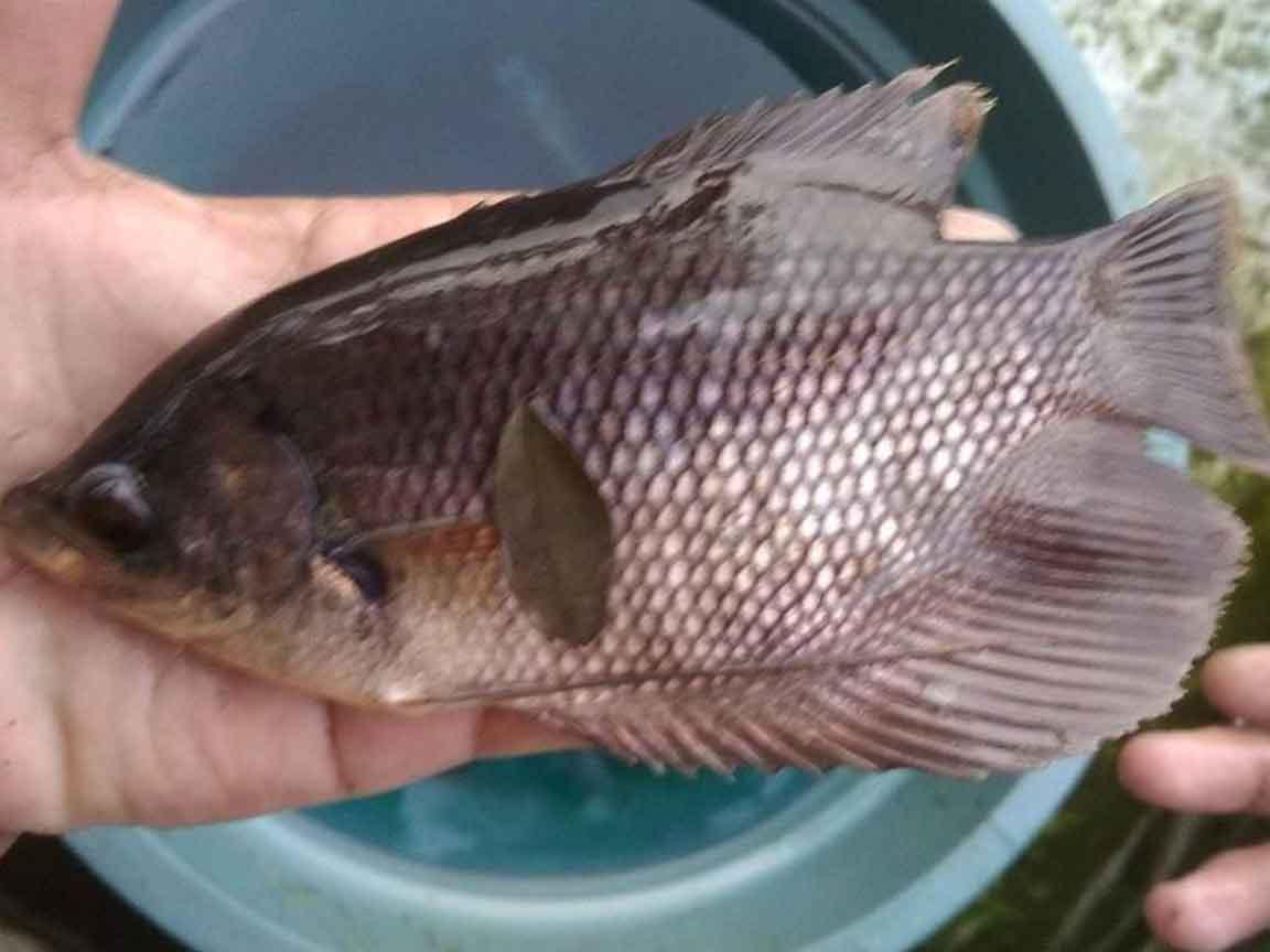 Cara Budidaya Ikan Gurame Terbukti Panen Lebih Cepat Lebih Untung