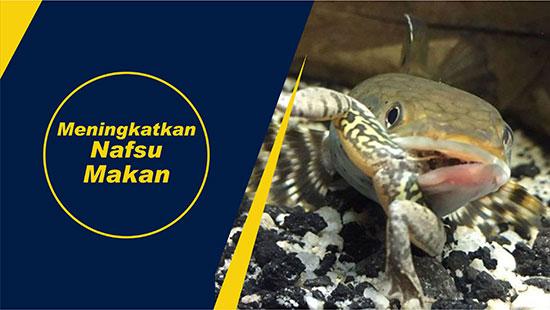 nafsu makan ikan gabus