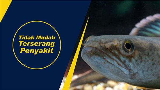 penyakit ikan gabus