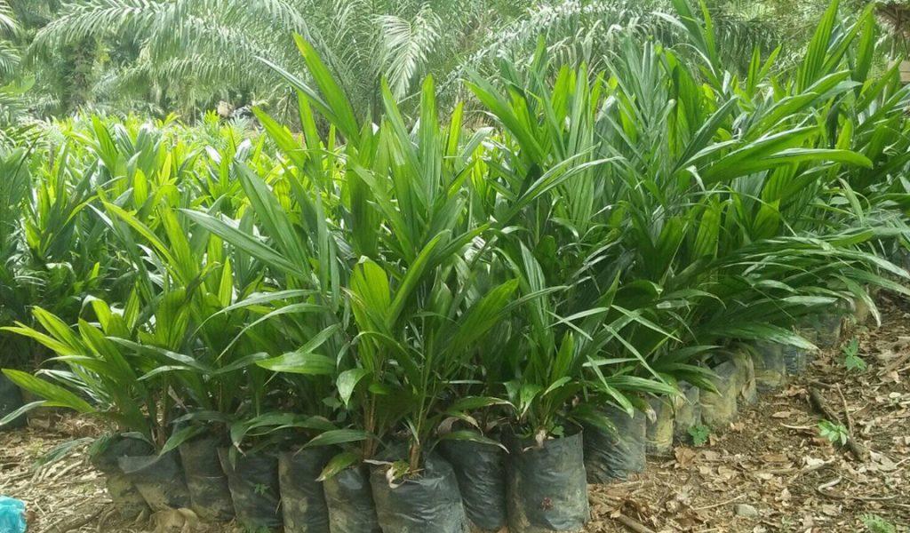 tumbuhan kelapa sawit