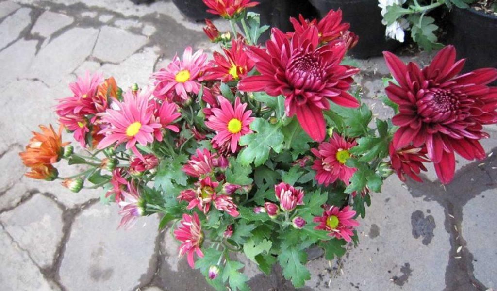 bunga krisan merah