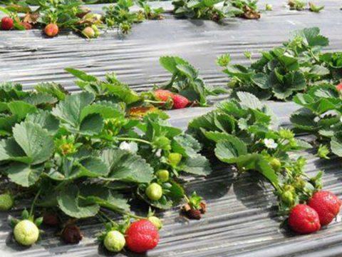 budidaya strawberry