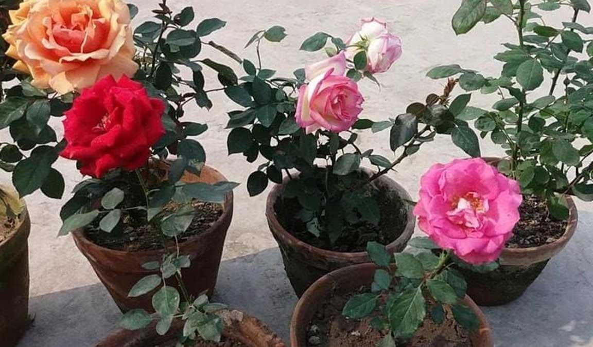 Cara Menanam Bunga Mawar Dari Stek Batang Lengkap Dan Mudah