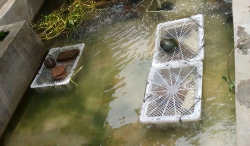 kolam tanah lobster