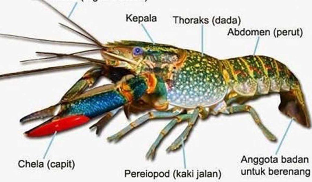 morfologi lobster