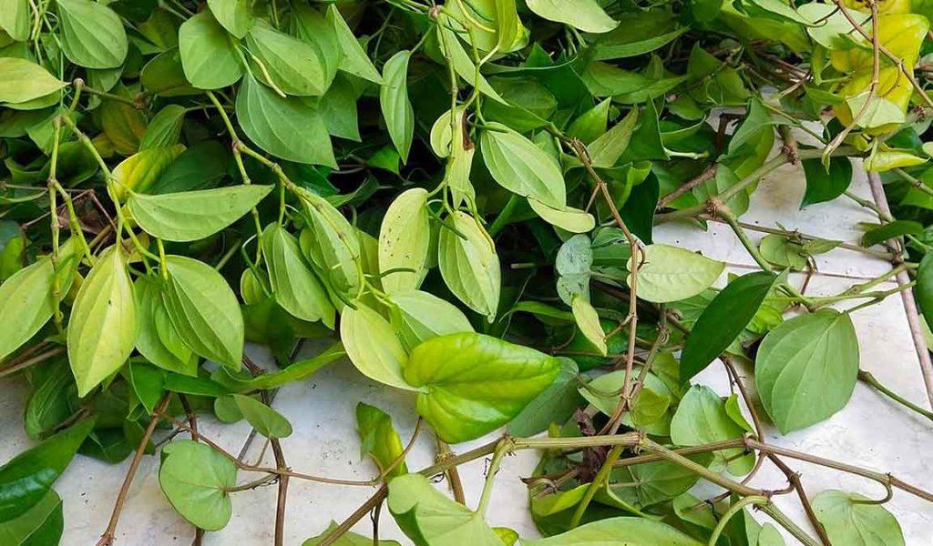 panen daun sirih