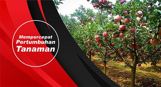 pertumbuhan tanaman apel
