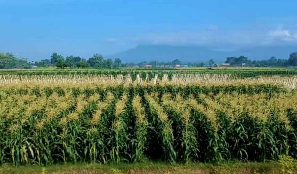 syarat tumbuh jagung