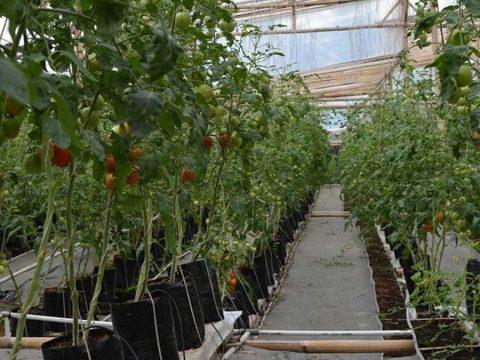 cara menanam tomat di pot