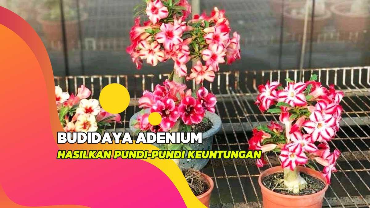 Ngejreng Dan Bernilai Jutaan Berikut Budidaya Adenium Paling Simple