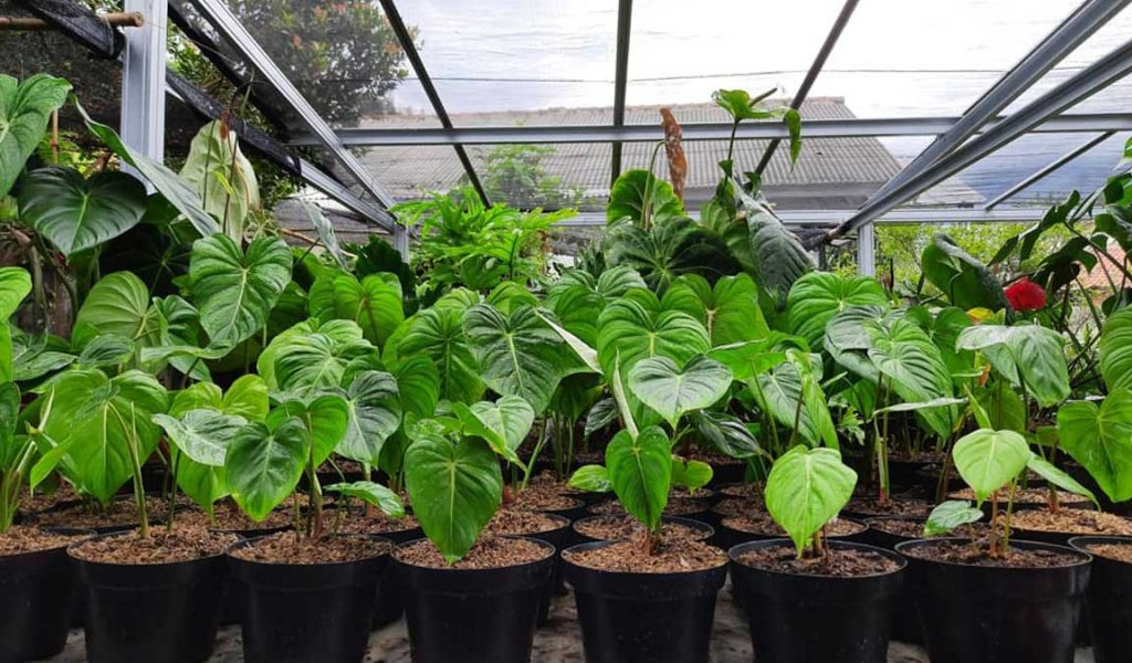 bisnis philodendron
