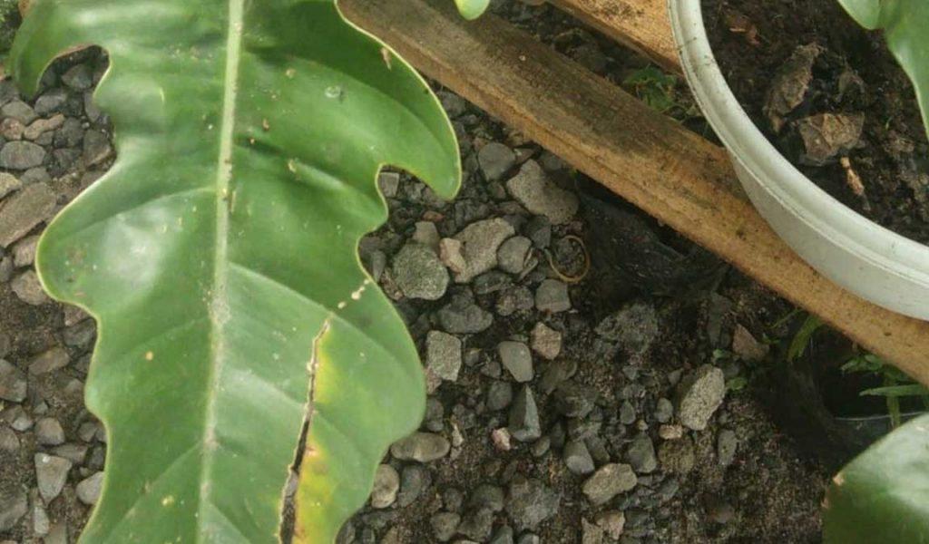 Tanaman Philodendron Terkena Hama dan Penyakit