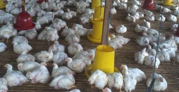 bisnis usaha ayam potong
