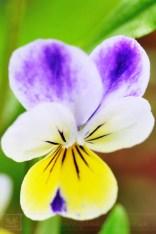 Wildflower garden viola
